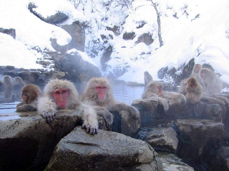 snow_monkey4